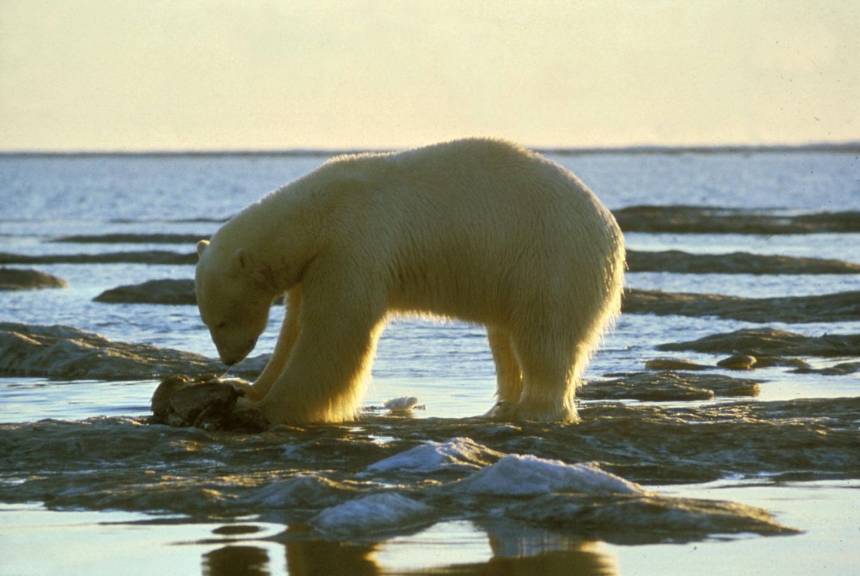Study reveals new genomic roots of ecological adaptation in polar bear evolution | EurekAlert! Science News