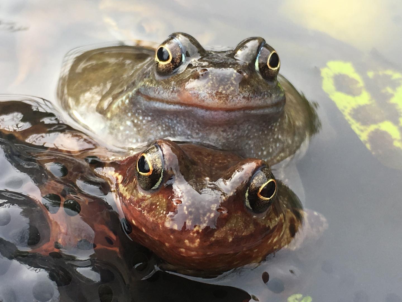 Skin bacteria could save frogs from virus | EurekAlert! Science News
