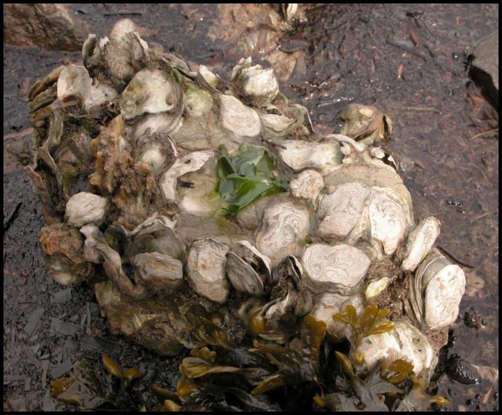 Climate change could shrink oyster habitat in California   EurekAlert! Science News