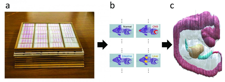 Reconstructing histological slices into 3D images | EurekAlert! Science News