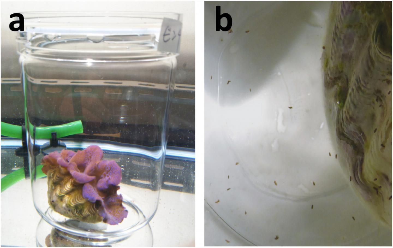 The surprising merit of giant clam feces | EurekAlert! Science News