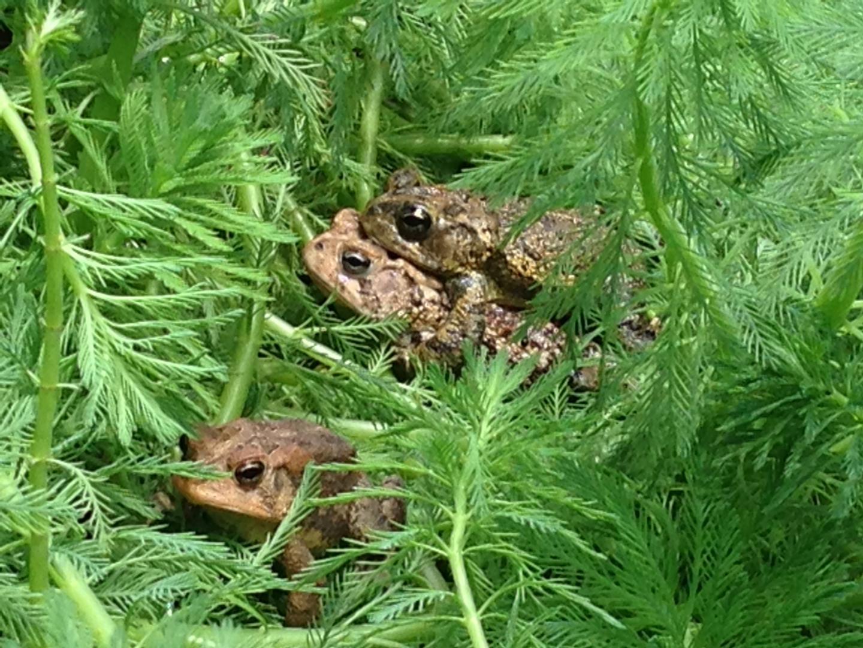 When naproxen breaks down, toads croak   EurekAlert! Science News