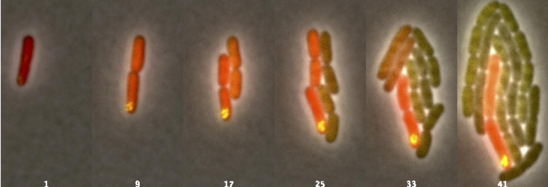 Bacteria made to mimic cells, form communities | EurekAlert! Science News