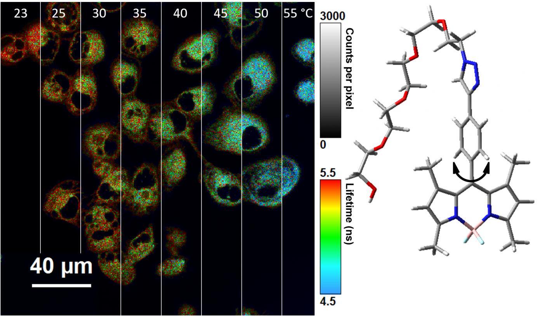 Nano-thermometer takes temperature inside cells | EurekAlert! Science News