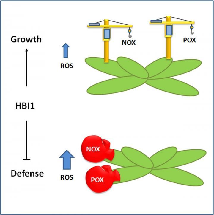 Mediating the trade-off -- How plants decide between growth or defense   EurekAlert! Science News