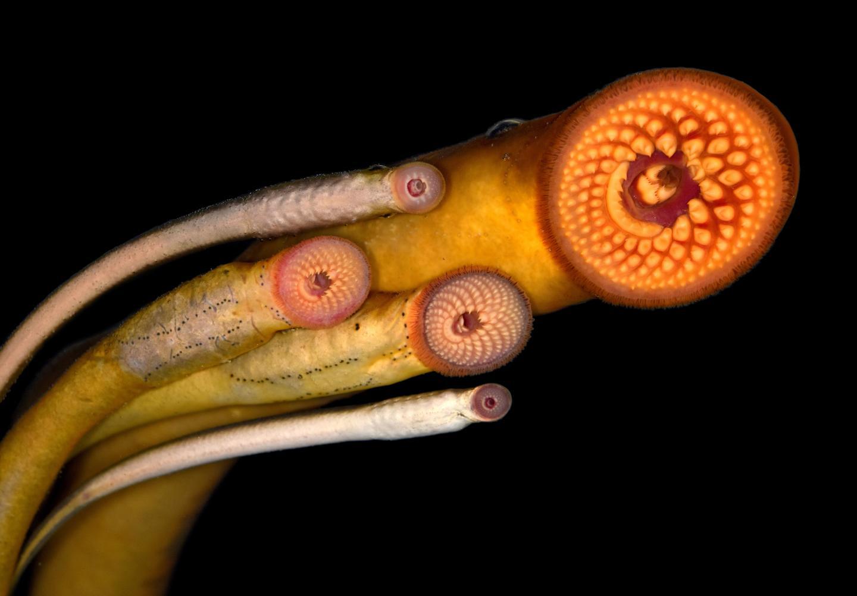 Sexual selection influences the evolution of lamprey pheromones | EurekAlert! Science News