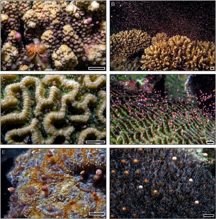 Breakdown in coral spawning places species at risk of extinction   EurekAlert! Science News