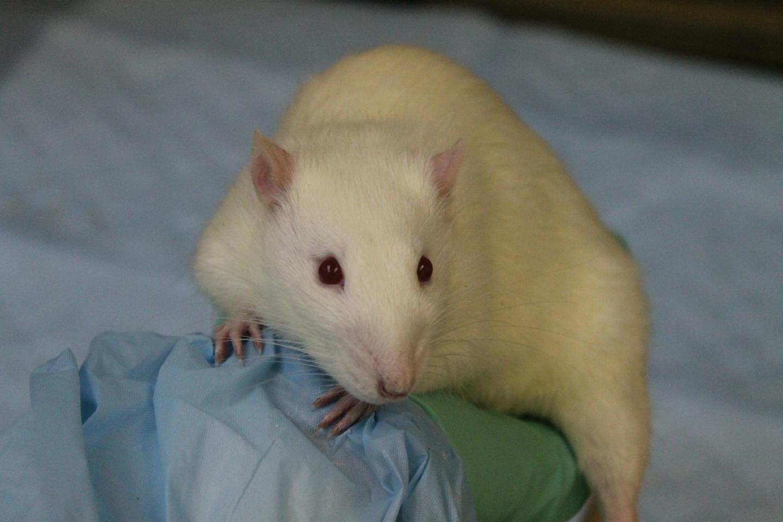 Brain circuit controls individual responses to temptation in rats | EurekAlert! Science News