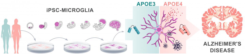 Alzheimer's disease risk gene APOE4 impairs function of brain immune cells | EurekAlert! Science News