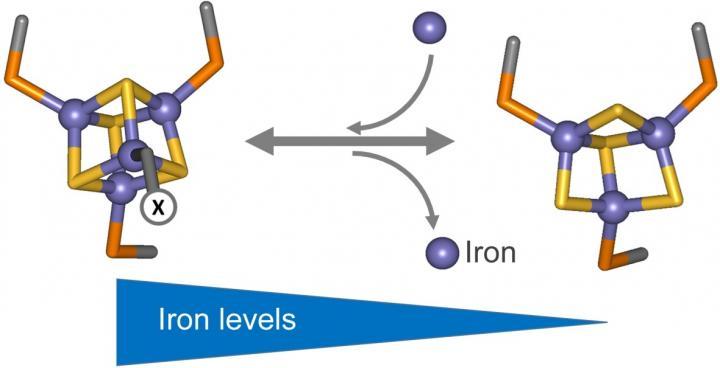 How nitrogen-fixing bacteria sense iron | EurekAlert! Science News