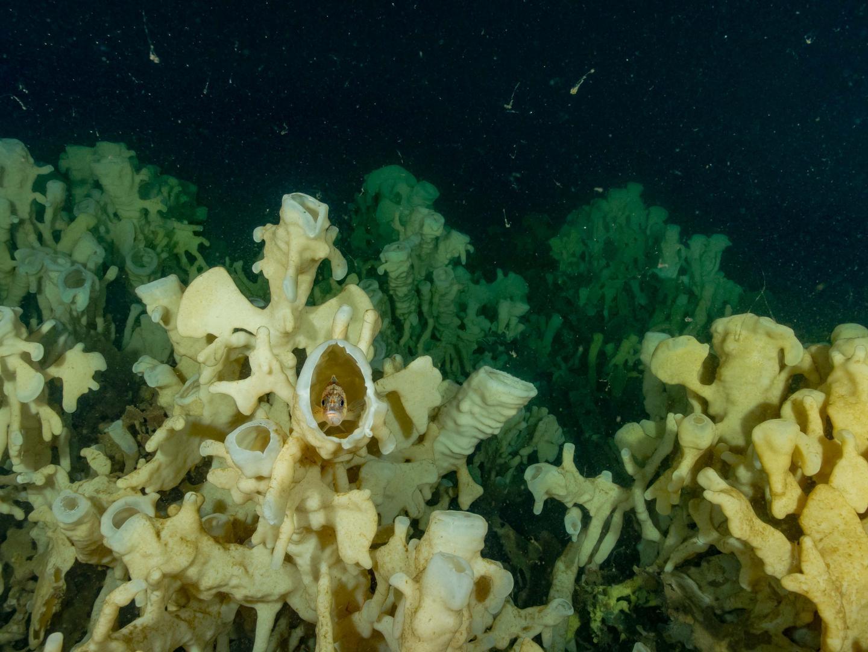 A glass sponge reef in Howe Sound, British Columbia.