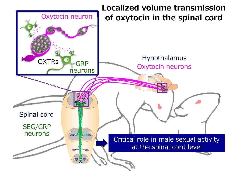 Dutch sex hormone metabolism regenerus labs