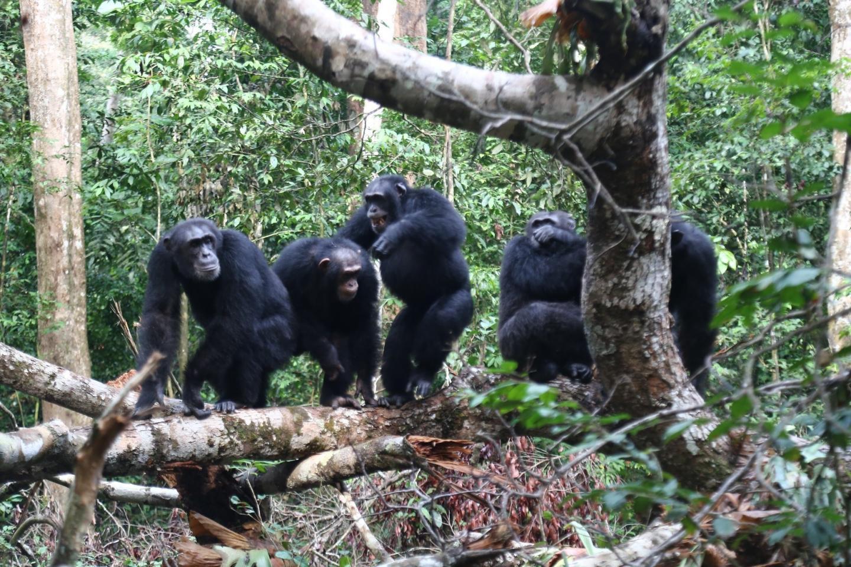 Chimpanzee friends