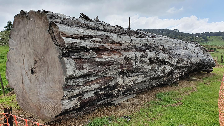 Ancient kauri tree log from Ngawha, New Zealand.