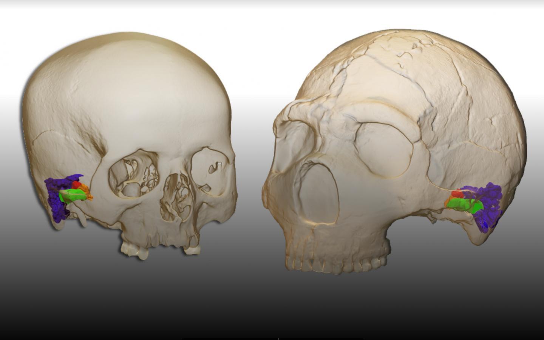 3D-Modell und virtuelle Rekonstruktion des Ohrs bei einem modernen Menschen (links) und dem Neandertaler (rechts).