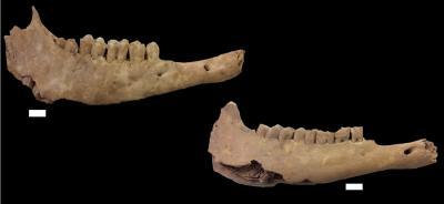 Die intensive Zucht von Schafen im Neolithikum wurde anhand von Knochen  von Nutztieren untersucht. Gefunden wurden die Knochen in der Chaves Höhle in Huesca, Spanien.