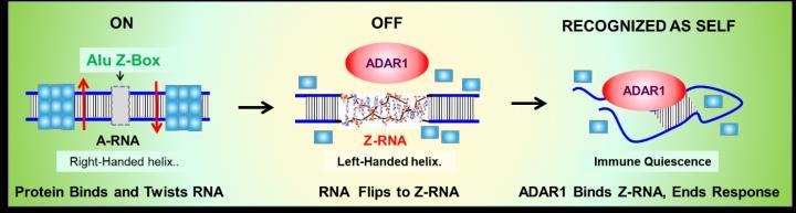 The Z-RNA Nanoswitch