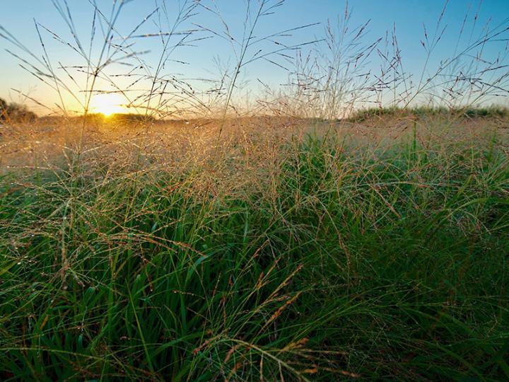 Research Enhances Understanding of Switchgrass, an Important Bioenergy Crop