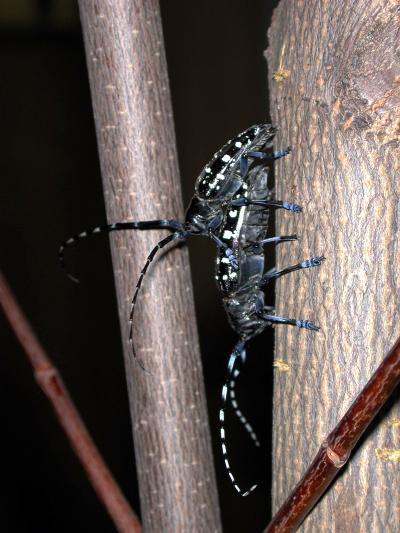 asian long horned beetles