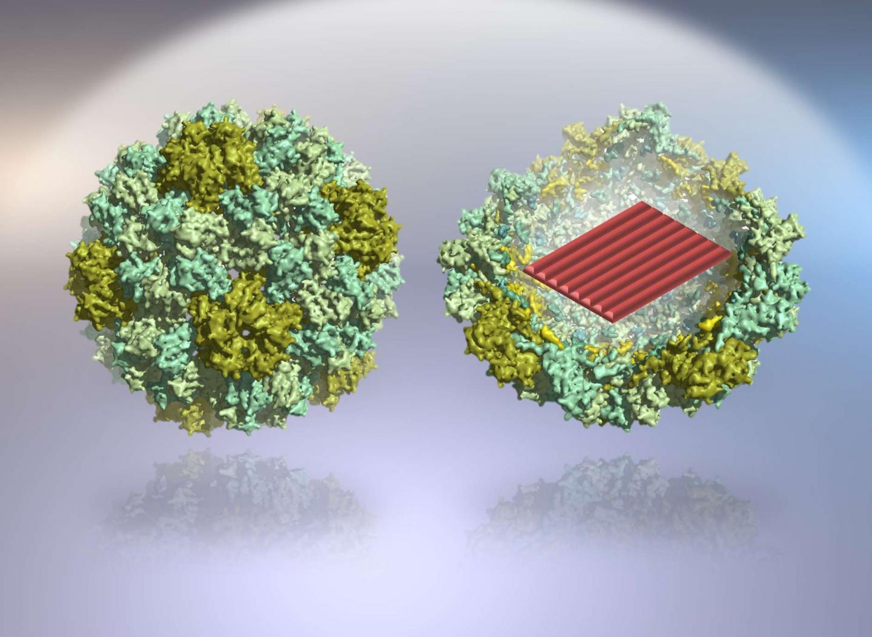 DNA-based nanodevices for molecular medicine | EurekAlert ... - photo#36
